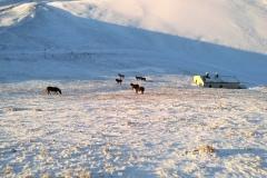 Cavalli al pascolo tra le nevi